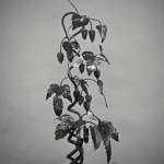 G.c.s.-Kovaný stojan-Chmelový keřík.. (20)